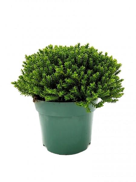 Buchsblättrige Strauchveronika - Hebe buxifolia (10/11cm Topf)