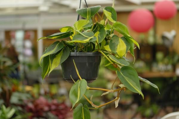 Baumfreund 'Brasil' - Philodendron scan. (15cm Ampel, 20-30cm)
