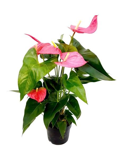 Flamingoblume pink - Anthurium andreanum (17cm Topf, 50-70cm Höhe inkl. Kulturtopf)