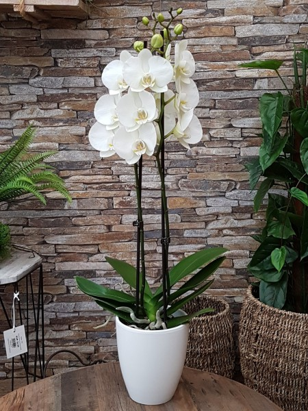 Schmetterlingsorchidee weiß (2 Tr.) 2 Trieber - Phalaenopsis-Hyb. (12cm Topf, 40-80cm)