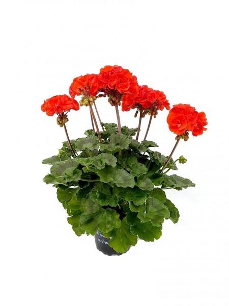 Elite-Geranie rot - Pelargonium zonale (12cm Topf)