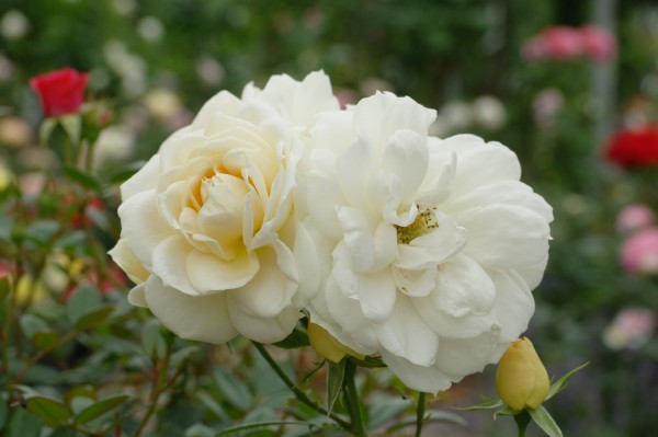 Beetrose 'Lions-Rose'® ADR-Rose - Rosa (C9)