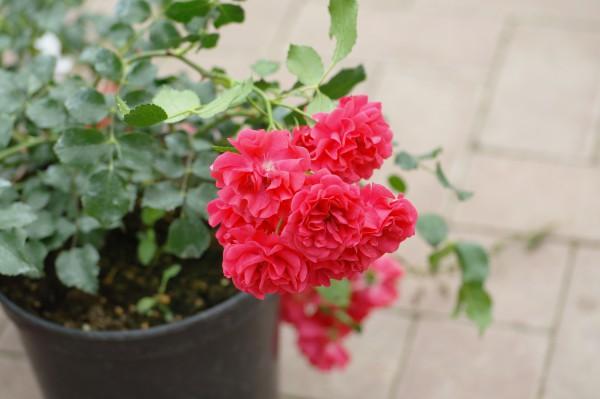 Bodendeckerrose 'Gärtnerfreude'® - Rosa (C4)