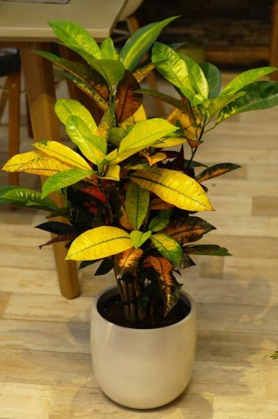 Kroton 'Mrs Iceton' - Codiaeum varieg. (22cm Topf, 60-80cm)