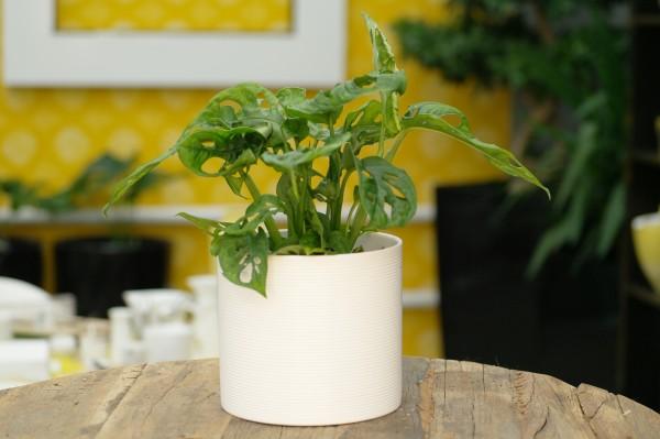 Schiefes Fensterblatt 'Monkey Leaf' - Monstera obliqua (12cm Topf, 20-40cm)