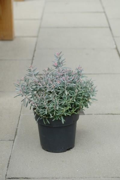Lavendelheide 'Blue Ice' - Andromeda polifolia (C2, 20-30cm)