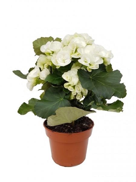Elatior-Begonie weiß - Begonia elatior (13cm Topf, 25-35cm)