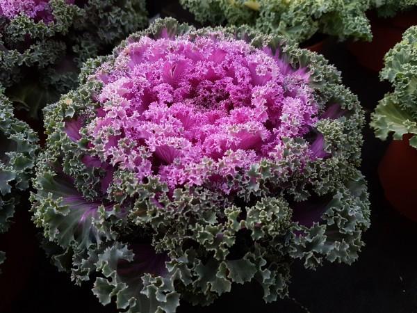 Zierkohl violett - Brassica oleracea (15-20cm)