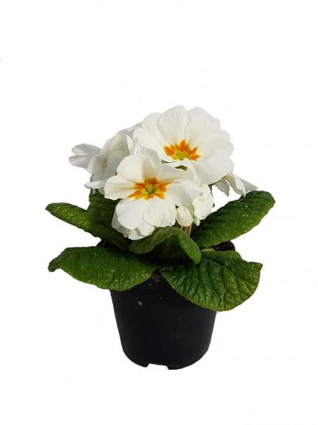 Primel weiß mit orangem Auge (Stängellose Schlüsselblume) - Primula vulgaris (9cm Topf)