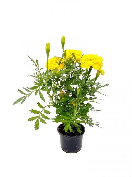Studentenblume gelb - Tagetes patula (9cm Topf, 15-30cm Höhe inkl. Kulturtopf)