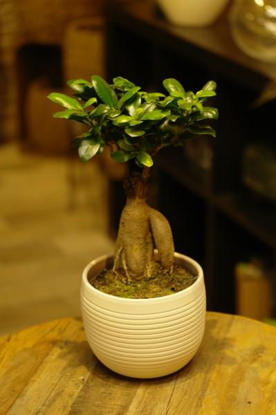 Chinesische Feige (Bonsai) - Ficus mi. 'Ginseng' (12cm Topf, 35-45cm)