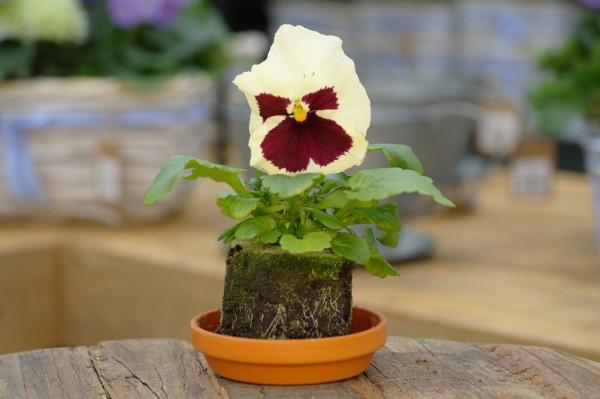 Stiefmütterchen creme-weiß mit Auge - Viola F1 wittrockiana (Erdpresstopf)