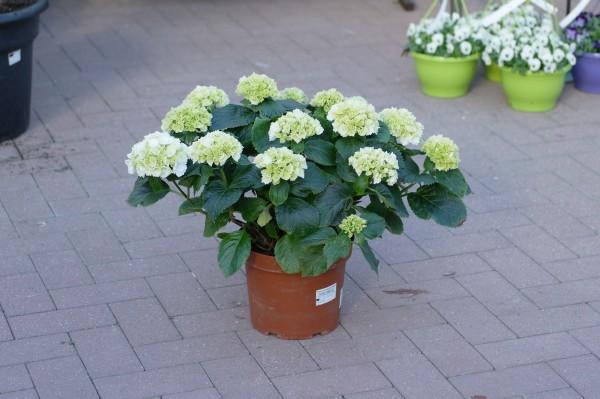 Bauernhortensie weiß - Hydrangea macr. (5 Liter Topf, 40-60cm)