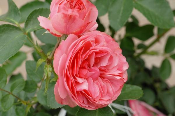 Beetrose 'Leonardo da Vinci'® - Rosa (C4)
