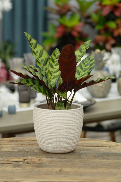 Korbmarante 'Insigne' - Calathea lancifolia (11cm Topf, 20-40cm Höhe inkl. Kulturtopf)