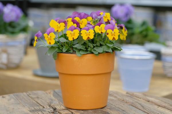 Hornveilchen gelb-violett - Viola cornuta (12cm Topf)