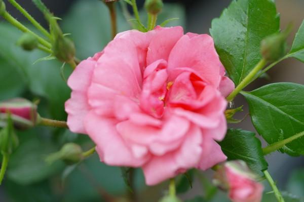 Beetrose 'Bad Birnbach'® ADR-Rose - Rosa (C4)