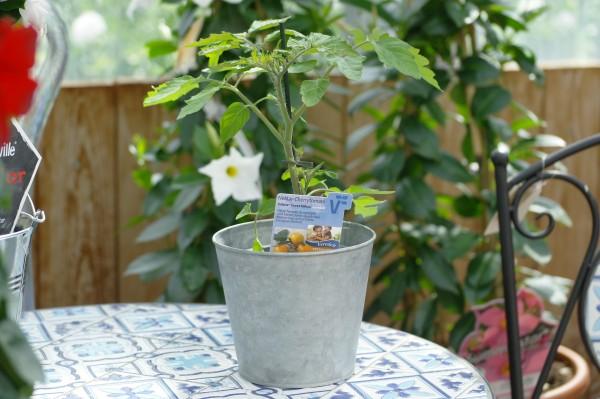 Tomate 'Solena® Sweet Yellow' - Lycopersicon esculentum (12cm Topf)