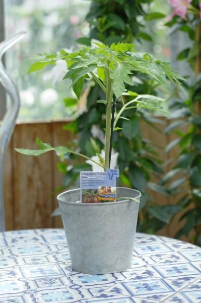 Schoko-Tomate 'Kakao F1' - Lycopersicon esculentum (12cm Topf)