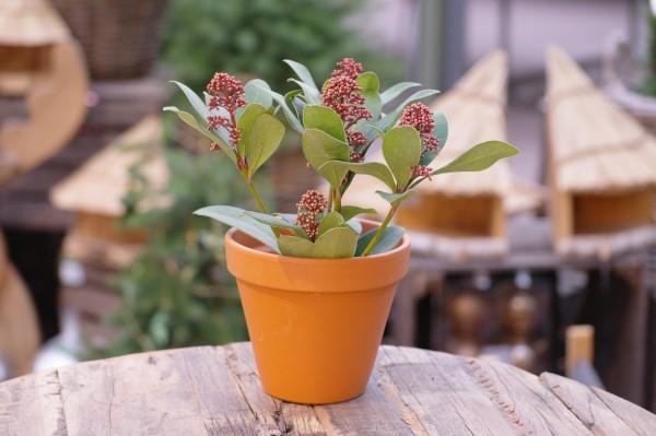 Japanische Blütenskimmie rot - Skimmia japonica (10cm Topf)