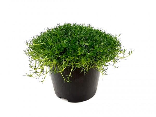Sternmoos dunkelgrün - Sagina subulata (12cm Topf)