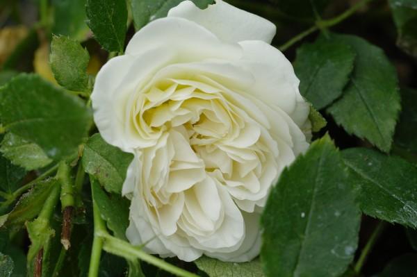 Beetrose 'Kosmos'® ADR-Rose - Rosa (C5)