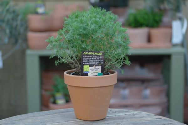 LA'BIO! Colapflanze - Artemisia abrotanum Camphorata (13cm T.)