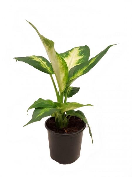 Dieffenbachie - Dieffenbachia (9cm Topf, 20-30cm)
