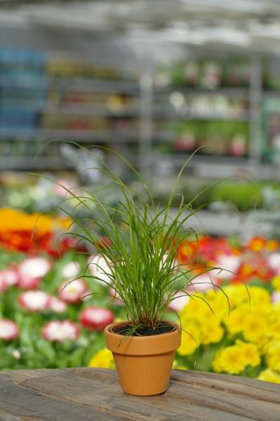Grüne Segge - Carex brunnea (6cm Topf)