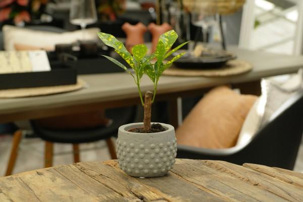 Kroton 'Aucubaefolia' - Codiaeum var. (Minipflanze, 5,5cm Topf)