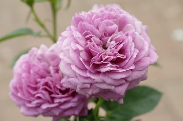 Beetrose 'Heidi Klum-Rose'® - Rosa (C3)