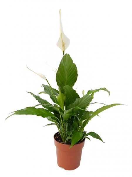 Friedenslilie weiß - Spathiphyllum (17cm Topf, 60-80cm Höhe inkl. Kulturtopf)
