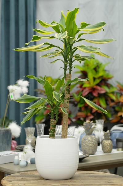Drachenbaum 'Golden Coast' - Dracaena fragrans (17cm Topf, 50/75cm)