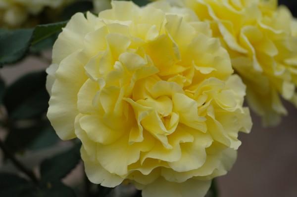 Edelrose 'Sunny Sky'® ADR-Rose - Rosa (C4)