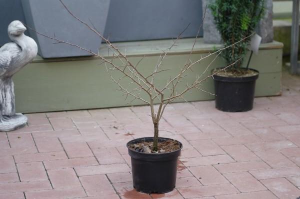 Traubenkirsche - Prunus padus (C3, 40-60cm)