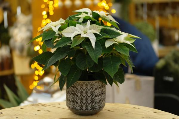Herbststern 'Princettia® Pearl' weiß Weihnachtsstern - Euphorbia pulch. (10cm Topf, 15-25cm)