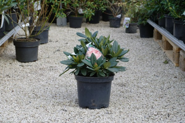Rhododendron 'Sun Glory' - Rhododendron Hybr. (C5, 30-50cm)