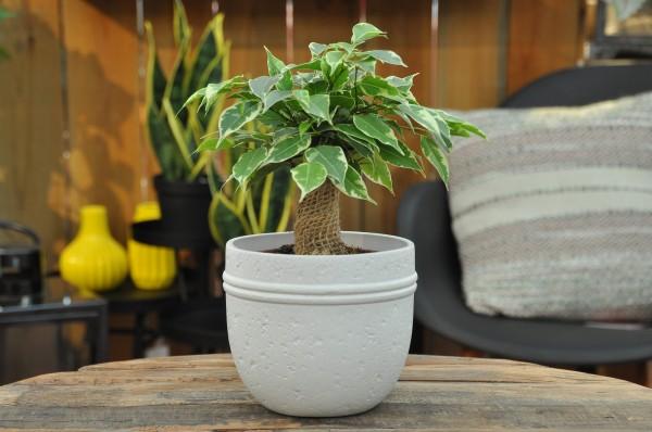 Birkenfeige 'Kinky' - Ficus benjamini (12cm T., 20-30cm, Jute)