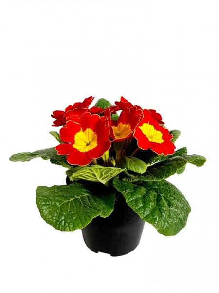 Primel rot mit gelbem Auge (Stängellose Schlüsselblume) - Primula vulgaris (9cm Topf)