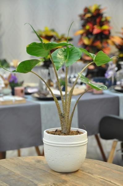 Elefantenohr 'Stingray' - Alocasia macrorrhiza (12cm T., 30-50cm)