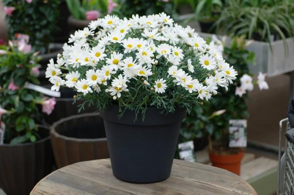 Strauchmargerite weiß - Argyranthemum frutescens (18cm Topf, Bu)