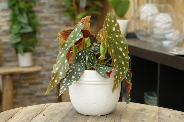 Forellenbegonie 'Polka-Dot' - Begonia maculata (12cm Topf, 15-30cm)