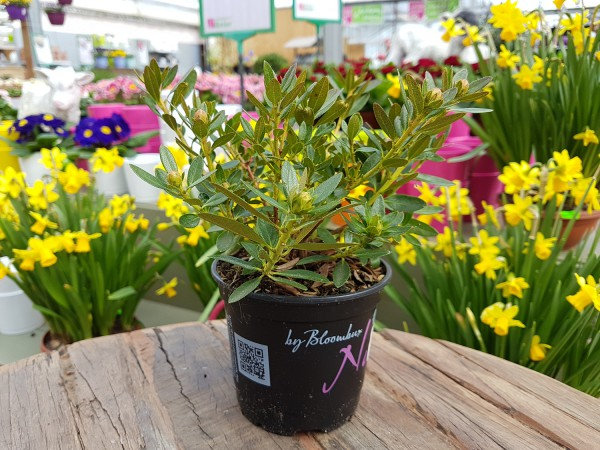 Bloombux 'Nugget'® - Rhododendron micranthum (10,5cm Topf)