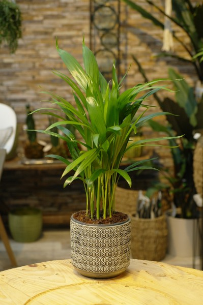 Arecapalme 'Feel Green' - Dypsis lutescens (14cm Topf, 50-70cm)