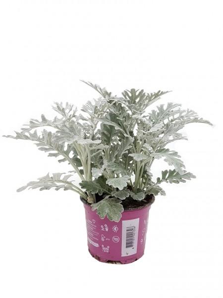 Silberblatt - Senecio bicolor (12cm Topf, 20-30cm)