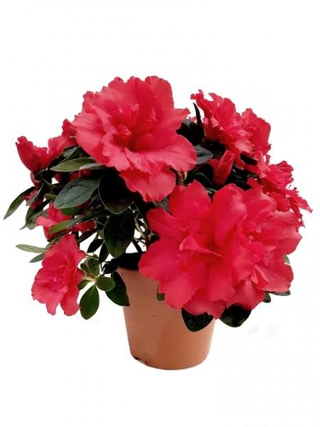 Zimmer-Azalee rot - Rhododendron simsii (12cm Topf, 20-30cm)