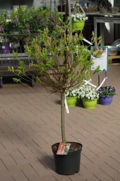 Rosa Riesen-Salweide 'Mount Aso' - Salix gracil. (C5, Sta, Krone, 60-100cm)