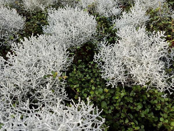 Herbstzauber Calocephalus und Muehlenbeckia - Duo-Topf