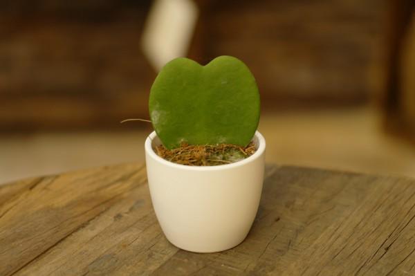 Herzblatt-Pflanze - Hoya kerrii (Minipflanze, 6cm Topf)