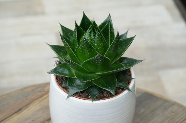 Aloe 'Cosmo'® - Aloe aristata (11cm Topf, 15-20cm)